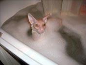 Фотогалерея питомника королевских элитных кошек породы Корниш-рекс